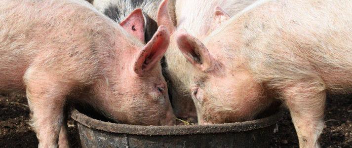 Alimentation de base des porcs