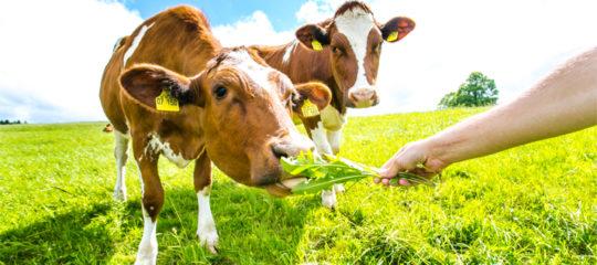 alimentation bio pour vos ruminants