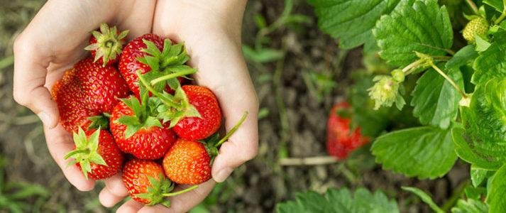 Fruits en cueillette